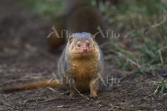 Dwarf mongoose (Helogale parvu・・・