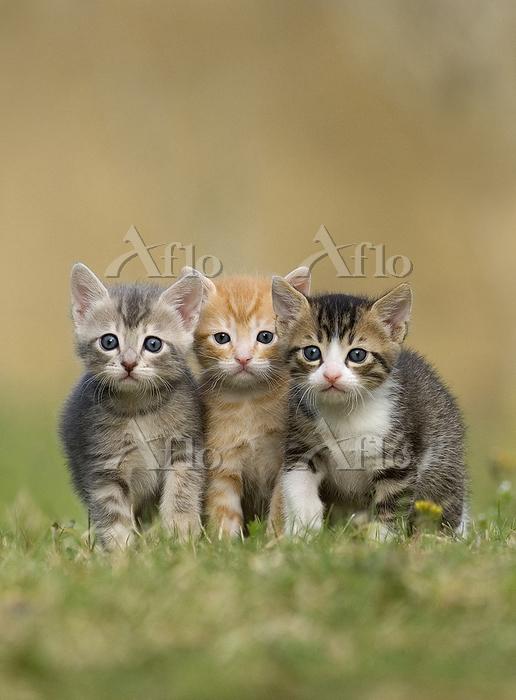 3匹のこねこ