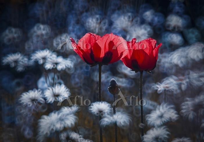 学名:Papaver cultivar Poppy, Pap・・・