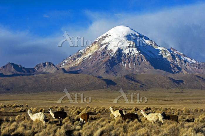 Domesticated Alpaca / Vicugna ・・・