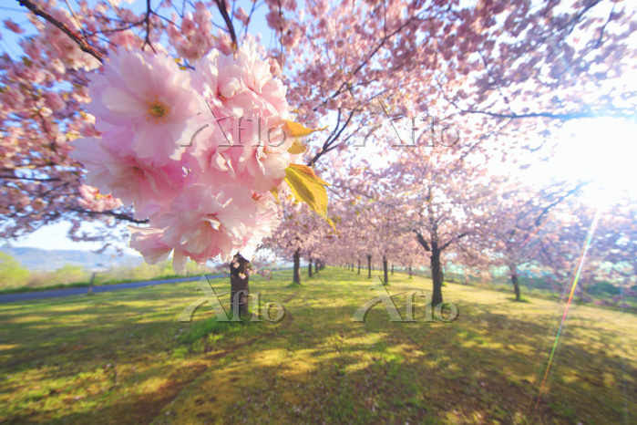 長野県 小布施町 桜並木と朝の木漏れ日