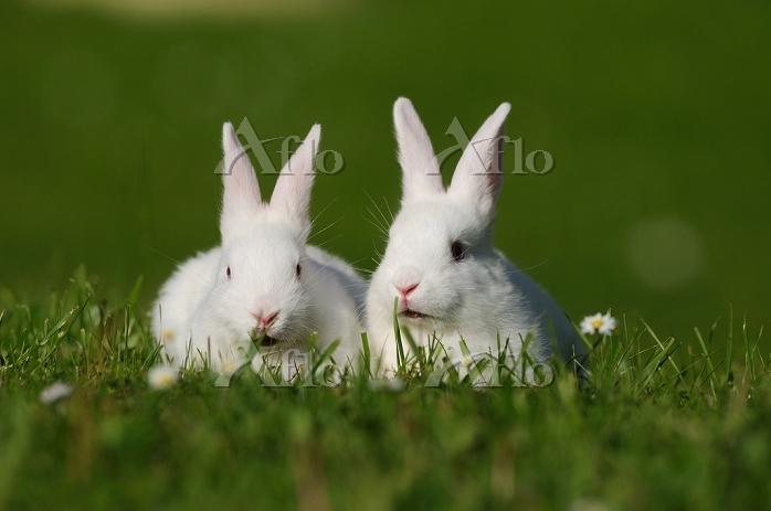 2匹のウサギ