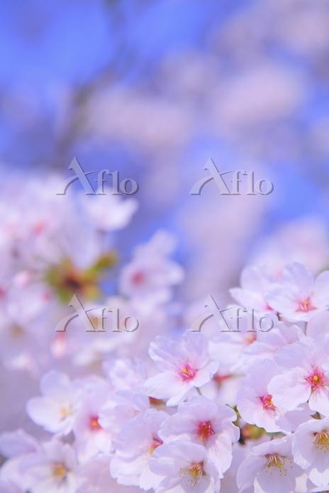 福島県 鶴ヶ城公園 桜の花