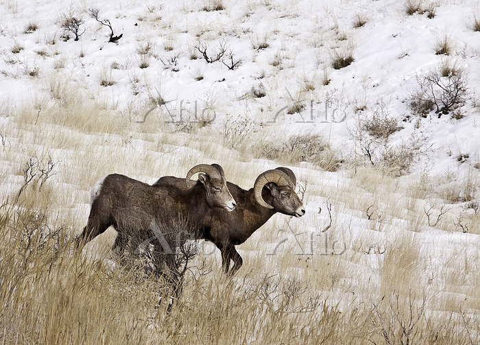 Sierra Nevada Bighorn sheep in・・・