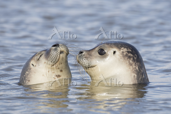 Harbour Seal - portrait of swi・・・