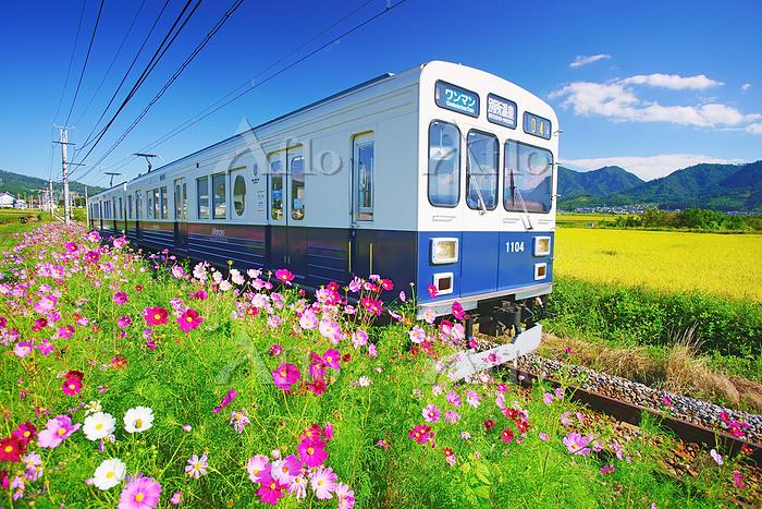 長野県 上田市 塩田平 別所線のまるまどりーむ号とコスモス