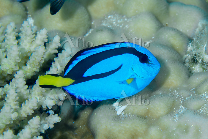 ナンヨウハギ 幼魚