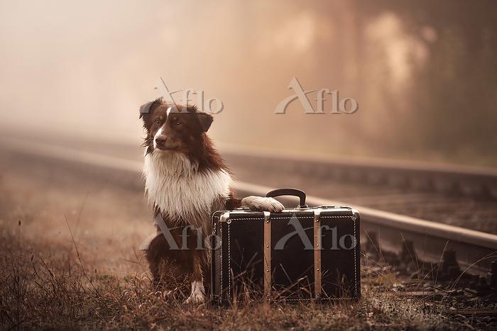sitting Australian Shepherd