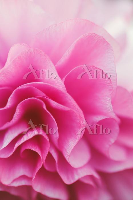 Folded Pink Flower Petals