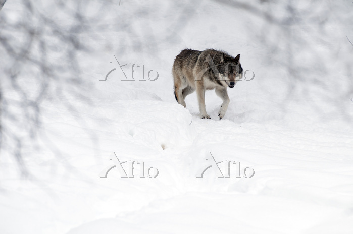 Grey wolf (Canis lupus) in the・・・