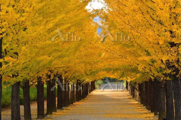 福島県 あづま総合運動公園 イチョウ並木