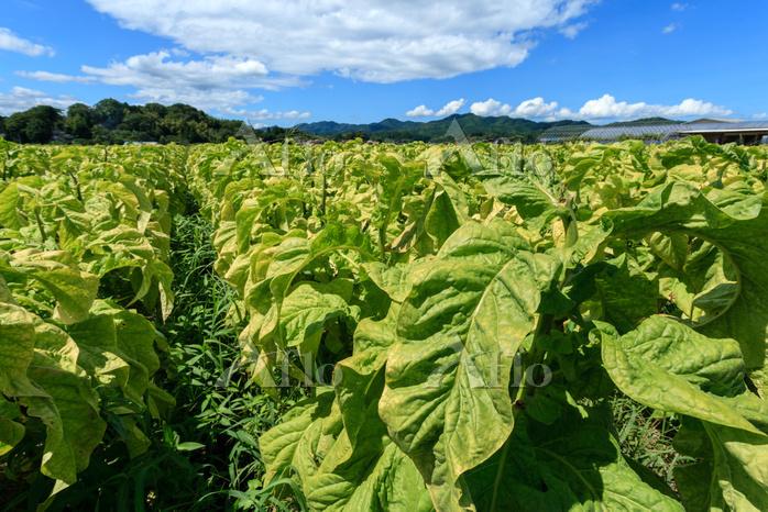 島根県 タバコ畑