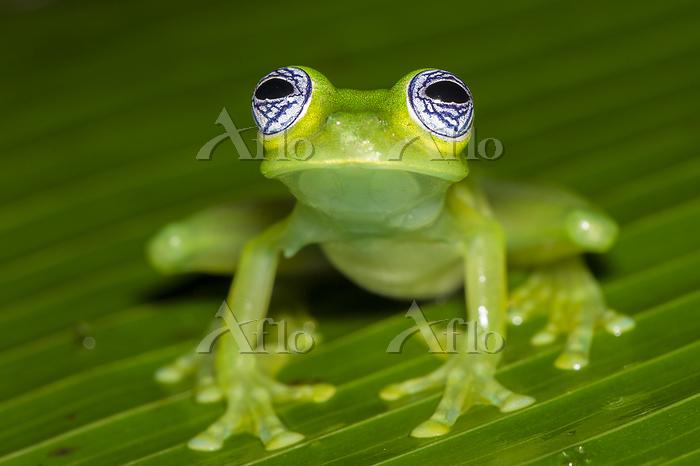 RF - Ghost Glass Frog (Sachata・・・