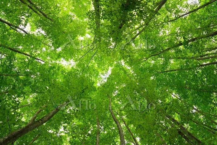 新潟県 十日町市 美人林のブナの新緑