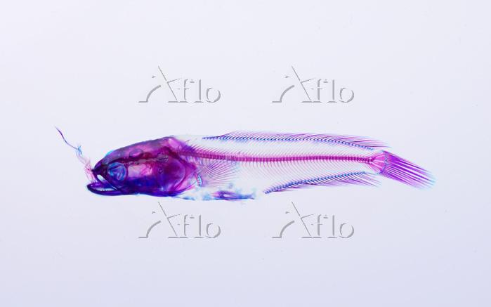 雷魚 (カムルチー) Channa argus