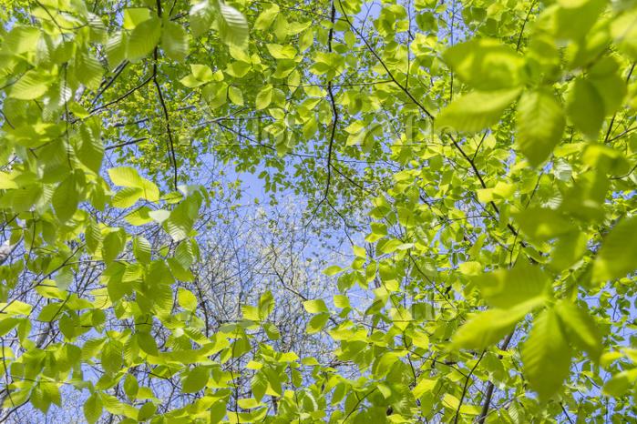 新緑を見上げる