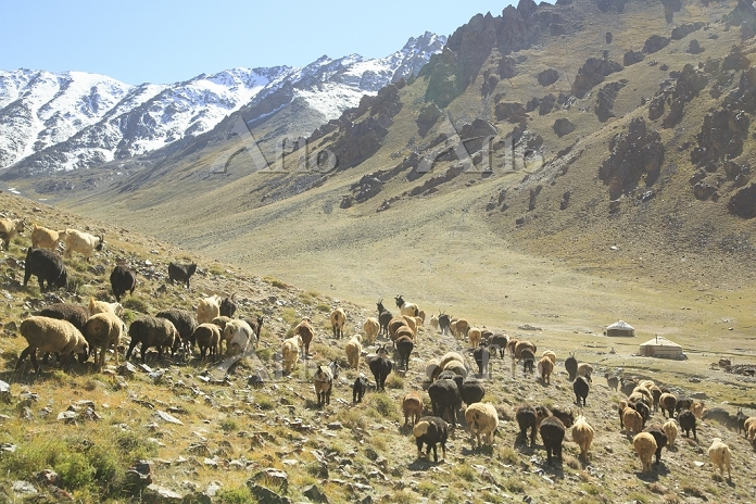 タジキスタン ムルガブ ヤギやヒツジの放牧