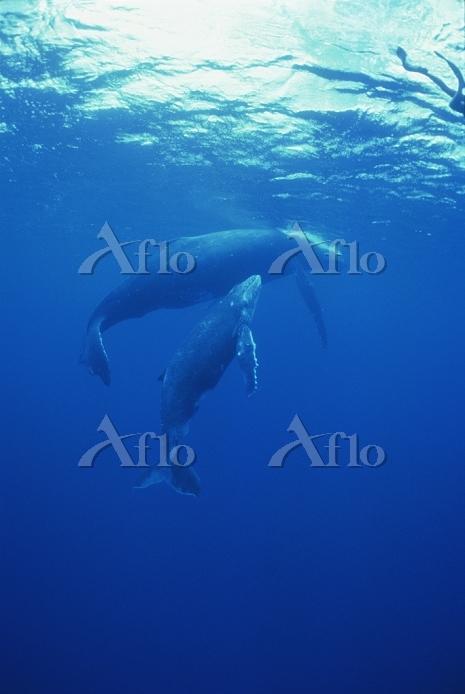 フレンチポリネシア(タヒチ) ルルツ島 ザトウクジラの親子