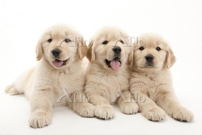ゴールデンレトリーバー 3頭の仔犬