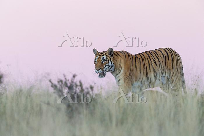 Asian (Bengal) Tiger (Panthera・・・