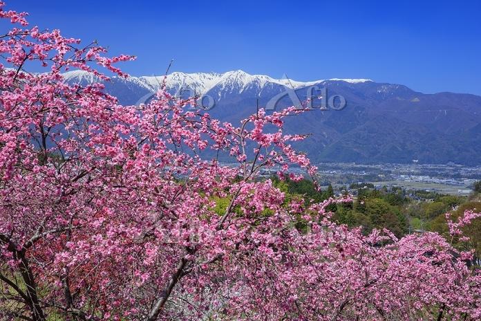 長野県 花桃の里より中央アルプス(宝剣岳)