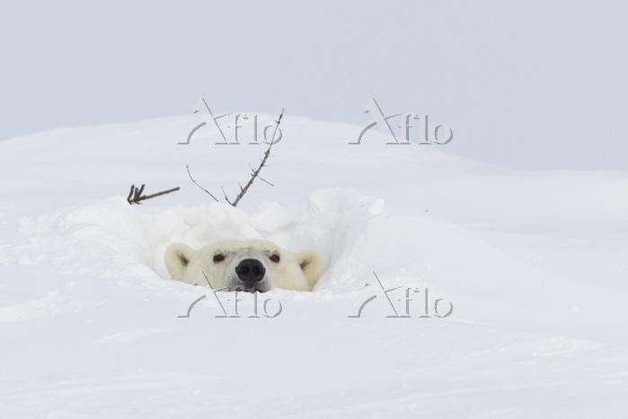 雪に埋まる白熊