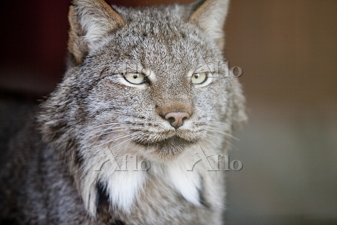 CAPTIVE: Close up of a Lynx, A・・・
