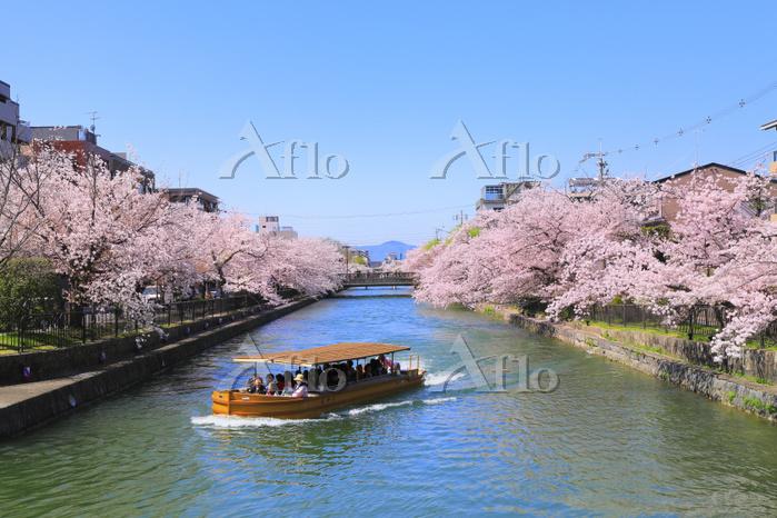 京都府 岡崎疎水の桜並木と十石舟めぐり