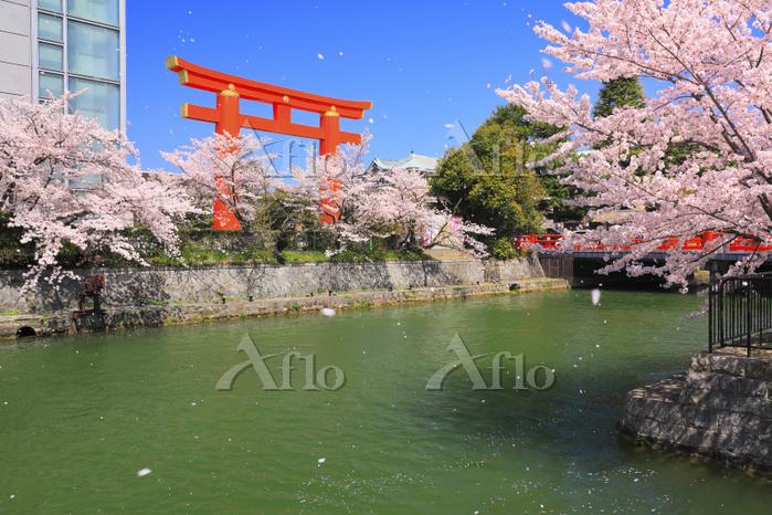 京都府 岡崎疎水の桜並木の花吹雪と平安神宮の大鳥居