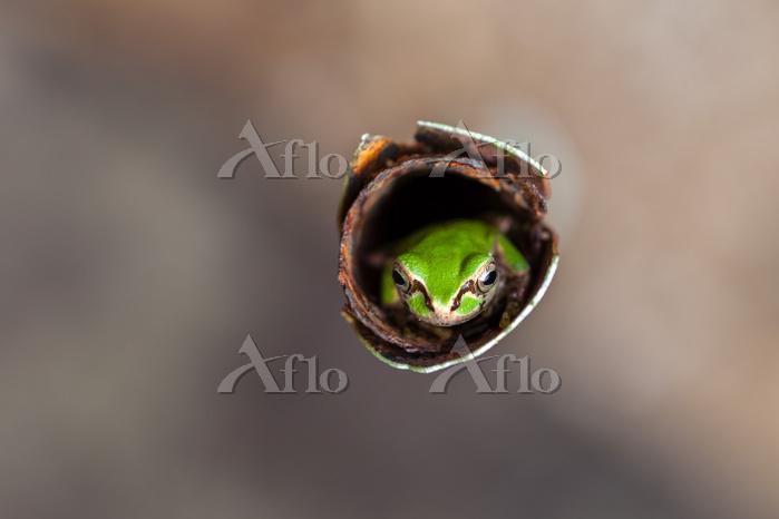 島根県 園芸支柱に隠れるニホンアマガエル