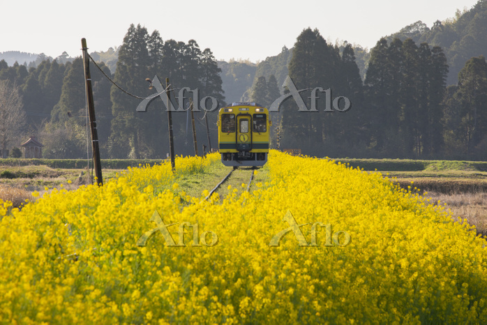 千葉県 いすみ鉄道と菜の花
