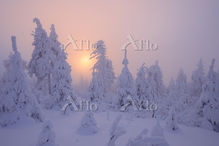 Snow Covered Trees at Sunset, ・・・