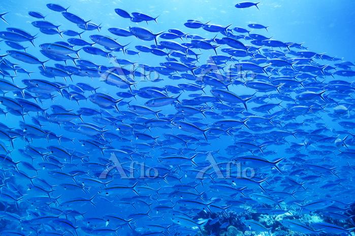 ニューカレドニア ポアンディミエ ササムロの群れ