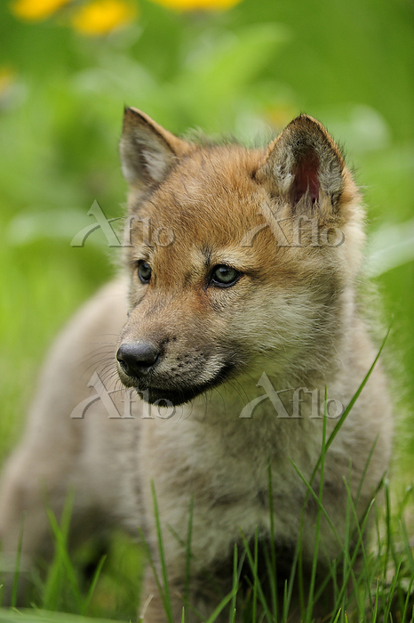Gray wolf (Canis lupus) pup ex・・・