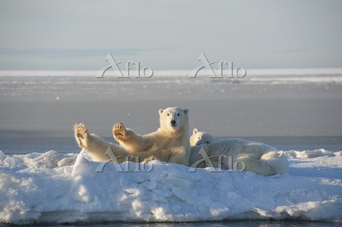 Polar bear (Ursus maritimus) s・・・