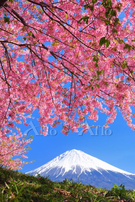 静岡県 河津桜と富士山