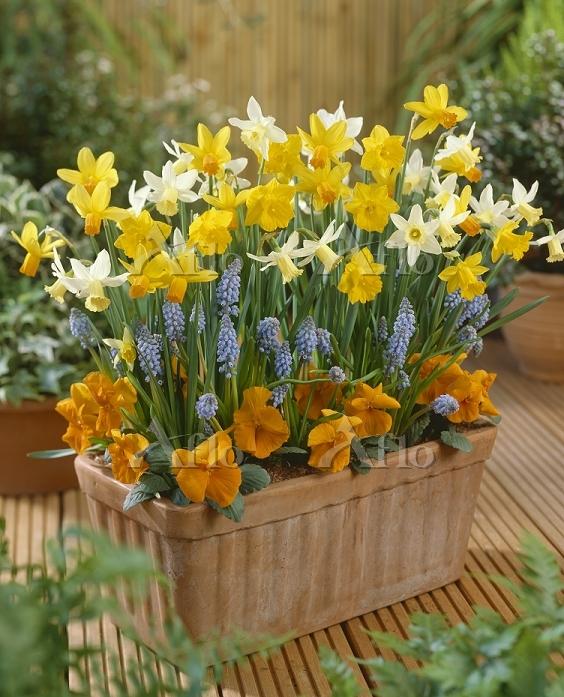 Narcissi, grape hyacinths and ・・・