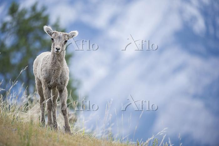 Lamb, Bighorn Sheep, Ovis cana・・・