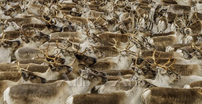 Reindeer herd,  Reindeer herdi・・・