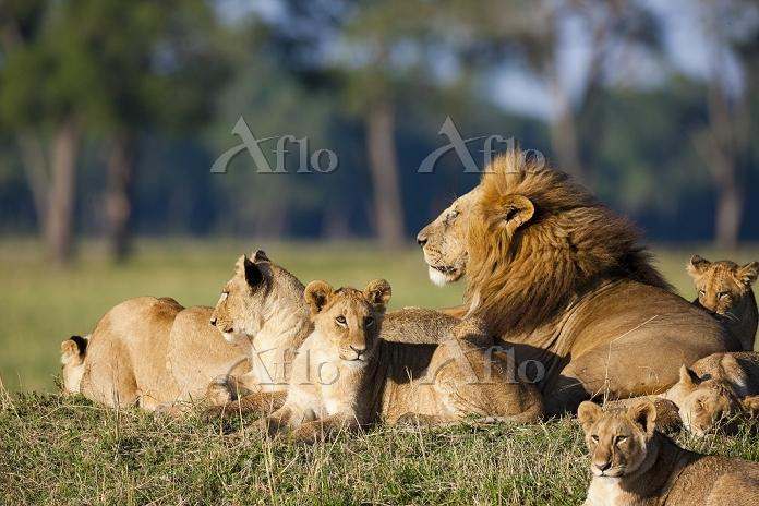 ケニア ライオン