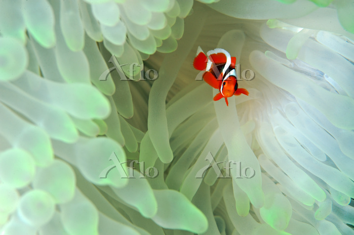 沖縄県 イソギンチャクと共生するカクレクマノミの幼魚
