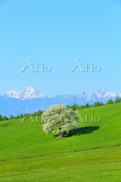 山梨県 八ヶ岳牧場 ヤマナシの花と甲斐駒ケ岳