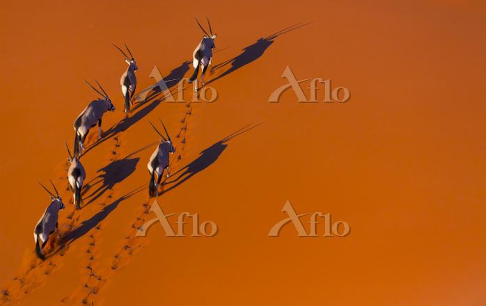 Gemsbok (Oryx gazella) aerial ・・・