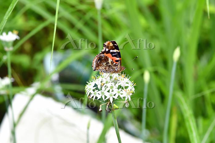 高知県 ニンニクの花の蜜を吸うアカタテハ