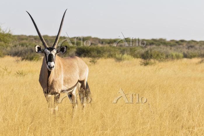 Botswana, Kalahari, Central Ka・・・