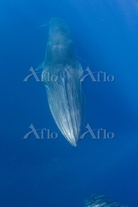 Bryde's whale, (Balaenoptera b・・・