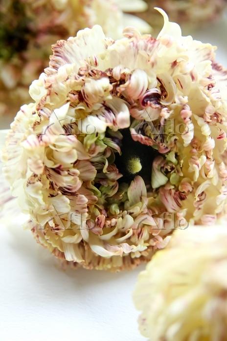 モロッコ咲きラナンキュラス2