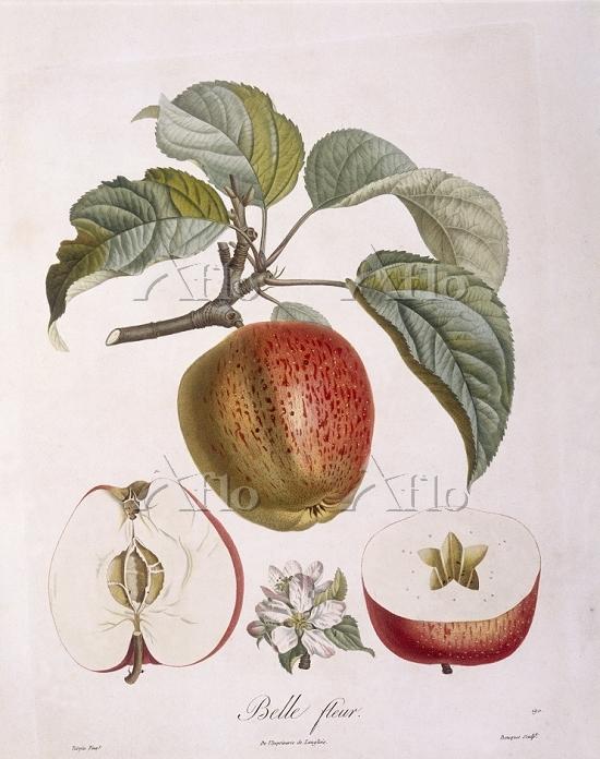 """Botany - Rosaceae - Apple """"Bel・・・"""