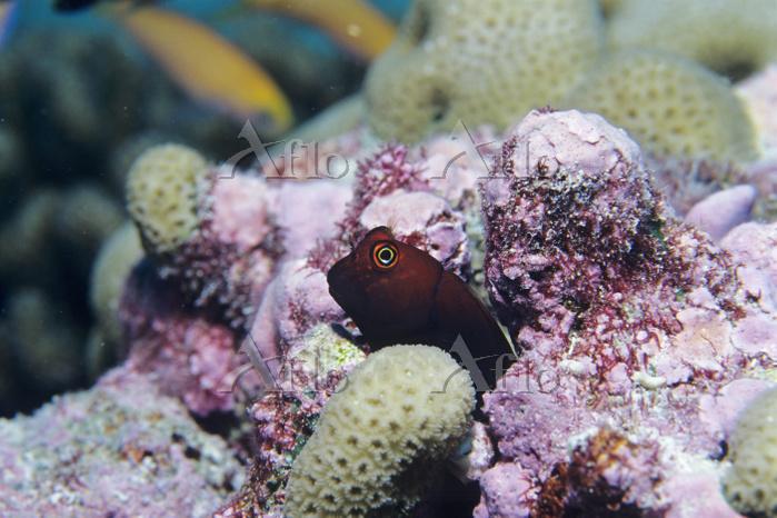 太平洋 キリバス クリスマス島 タテガミカエルウオ属