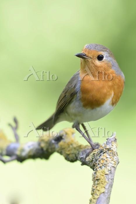 European robin (Erithacus rube・・・